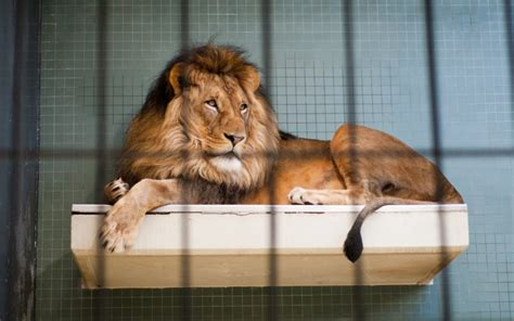 lion zoos bad zoo behind bars lying lions berlin zookeeper australia entertainment injuries serious attack leaves documentary enclosure attacked cleaning