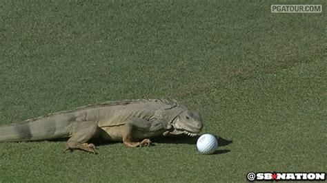 iguana   eat  golf ball sbnationcom