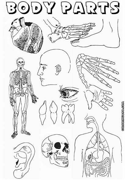Parts Coloring Pages Bodyparts Colorings