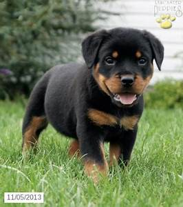 Full Grown Mini Rottweiler Images & Pictures - Becuo | Art ...