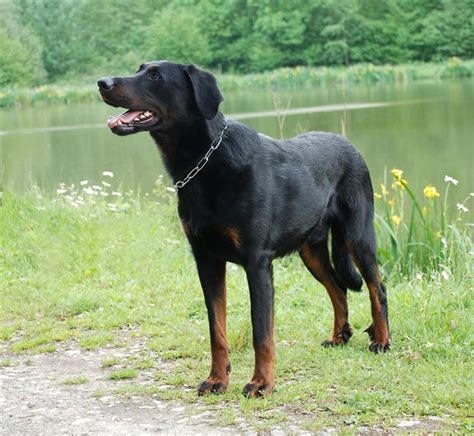 Beauceron Breed Information And Pictures On Puppyfinder Com