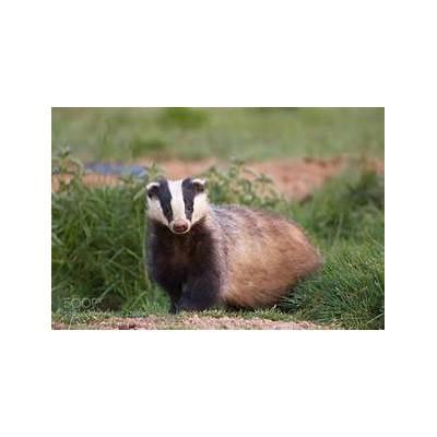 Photograph European badger - Blaireau européen by