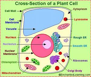 Labeled Plant Cell | Plant and Animal cell Organelle ...