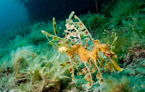 leafy seadragon oceana