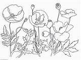Poppy Coloring Flower Pages Poppies Drawing Printable Remembrance Oriental Template Clipart Sketch Sheets Getdrawings Getcolorings Library Coloringhome sketch template