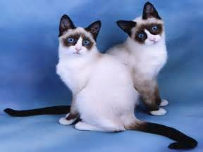 snowshoe cats snowshoe cat society page of snowshoe cats kittens