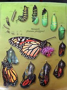 The 25  Best Butterfly Life Span Ideas On Pinterest