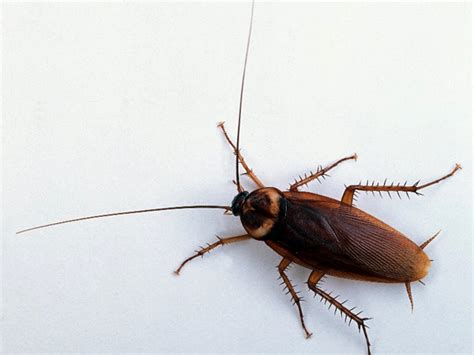 cockroaches in garage general residential pest dallas fort worth