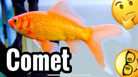 Comet Goldfish Fish