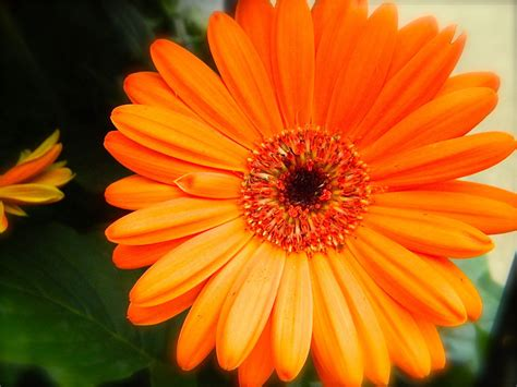 orange flowers wallpapers orange gerbera daisy flowers wallpapers