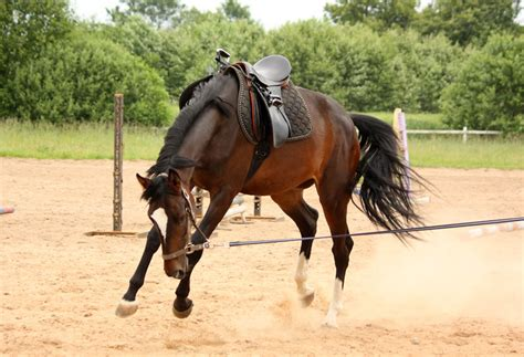 training horse horses young bucking brown trainer line tools must without longe