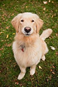 Dogs Golden Retriever Puppies