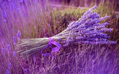 planting lavender lavender auntie dogma s garden spot