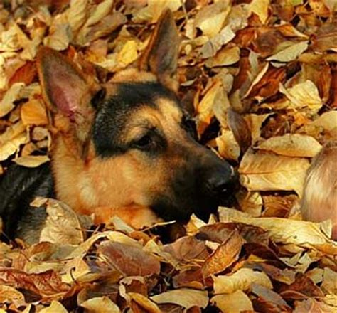 fall theme pictures    puppies  dogs