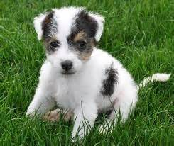 mix dog breeds small dog breeds that dont shed breeds of
