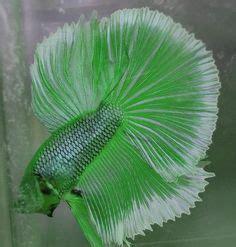 betta splendens  moon double tail crown tail
