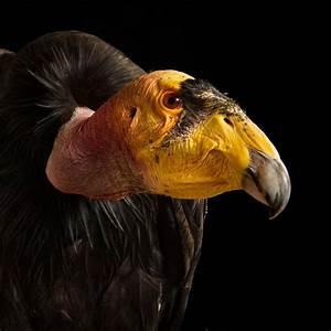 California Condor | National Geographic