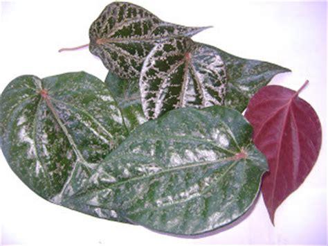 manfaat daun sirih merah hijau kesehatan info