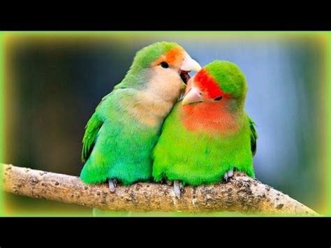 Lovebirds' Sounds - 1 Hour - YouTube