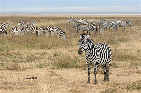 FileZebras Ngorongoro Craterjpg  Wikimedia Commons