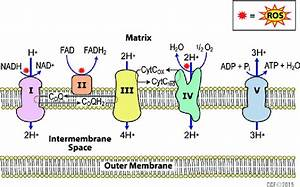 1 Generation Of Ros Via Electron Transport Chain