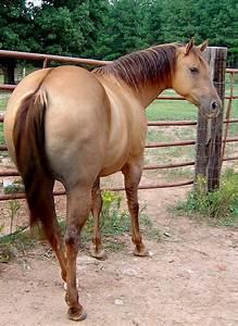 Red Dun Quarter Horse Stallion