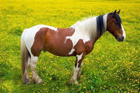 ponies horse pony horses types colours markings shetland basics facts pets4homes teach basic children fun information