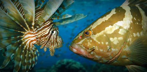 grouper lionfish invasive open water vs caribbean relationship gobbled documented kill between ashley native recorded observation species peerj gustafson examining