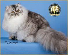 Persian Lion Cut Pictures | Browse Persians For Sale ...
