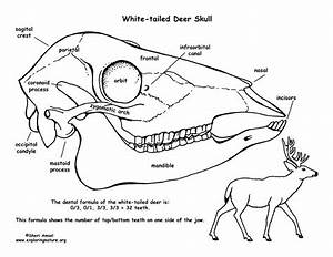 White-tailed Deer Skull Diagram and Labeling