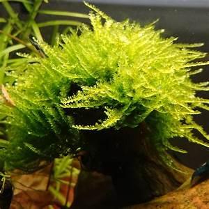 Moos Für Aquarium : weeping moss vesicularia ferriei aquaristik pflanzen pflege ~ Frokenaadalensverden.com Haus und Dekorationen