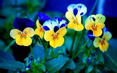 Flowers Wallpapers Pansy Backgrounds Tag
