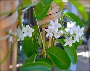 Jasmin Pflanze Pflege : stephanotis gail flickr ~ Markanthonyermac.com Haus und Dekorationen