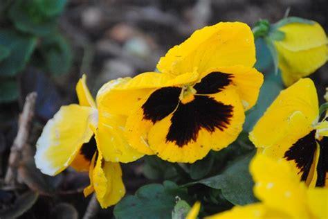 fiori pensiero fiori per matrimonio fiori di stagione per matrimonio