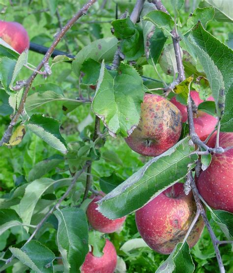 Apple Genome Sequence Helpful To Breeding Of New Varieties Published