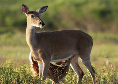 Mother Fawns Does Extension Deer Abandon Almost