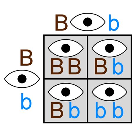 punnett square eye color misconception monday gimme a b now gimme a b ncse