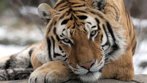 el tigre en peligro de extincion informacion sobre animales