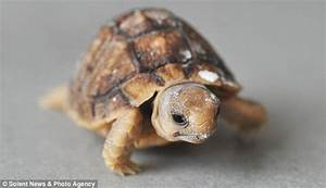 Small change: Quartet of week-old baby tortoises the size ...