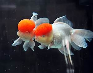 This Goldfish Looks Like Ronald Mcdonald