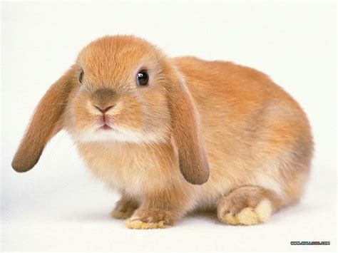 floppy ear bunny thecreaturesofchurchill rabpan