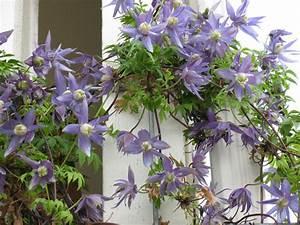 fleurs grimpantes pour pergola With habiller un mur exterieur en bois 12 quelles plantes grimpantes pour orner un treillis