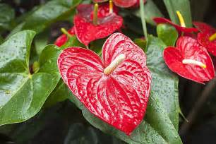 diy bathroom ideas how to grow anthurium plants