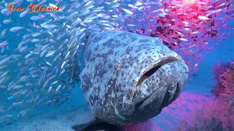 grouper goliath diving palm beach