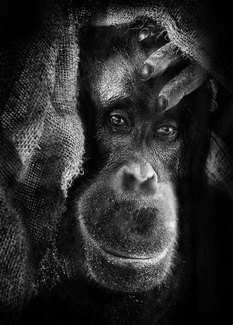 inhuman unnerving portraits  emotional apes
