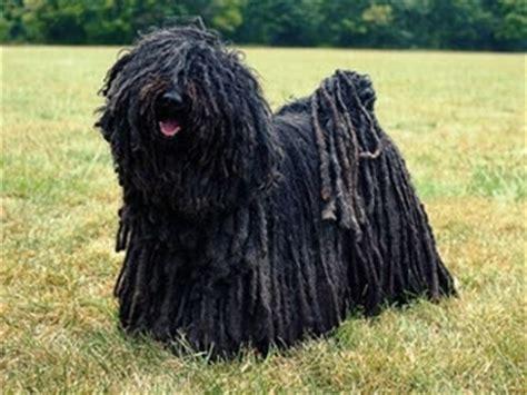 puli dog  dreads dog breeds   pinterest