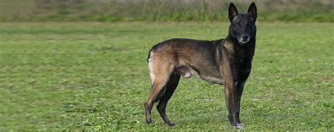 Belgian Malinois Shedding by Belgian Malinois Breed Health History Appearance