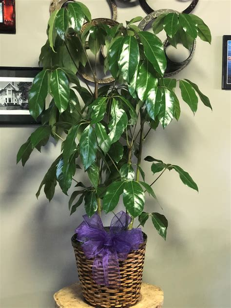 Schefflera Amate Plant :: Fifth Street Flower Shop