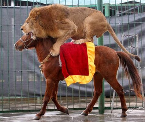predators riding horse horses lion lions ride animal bear mail daily animals funny