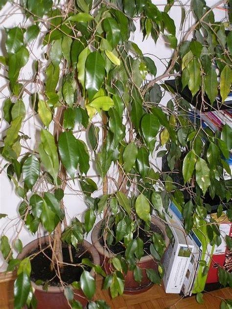 Ficus benjamin perde foglie Malattie piante appartamento Perdita foglie ficus benjamin